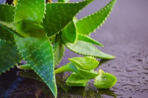 Plant a Pharmacy in Your Backyard, Aloe Vera