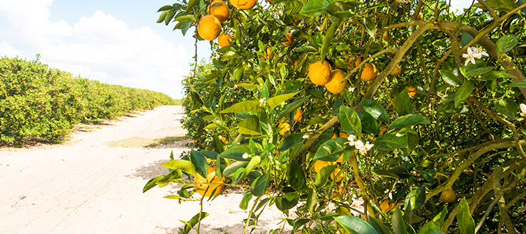 A Florida Orange Grove